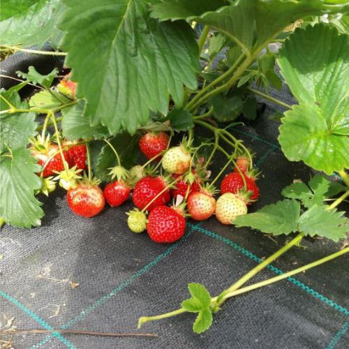 cueillette des fraises au potager d'agnes à romillé